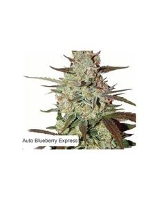 Dispensario Seeds – Auto Eter Express Marijuana Seeds