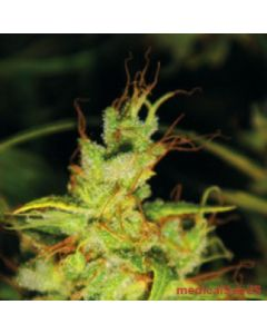 Medical Seeds – 2046 Marijuana Seeds