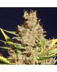 Original Sensible Seed Company – Alien Gorilla Cannabis Seeds