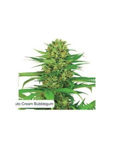 Dispensario Seeds – Auto Relax Marijuana Seeds