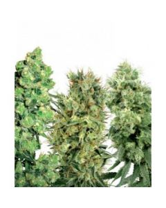 White Label Seeds – 25 Mixed Regular Seeds Marijuana Seeds