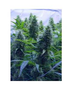 Kiwi Seeds – 2 Pounder Cannabis Seeds