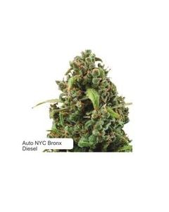 Dispensario Seeds – Auto Island Diesel Marijuana Seeds