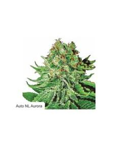 Dispensario Seeds – Auto Pain No More Marijuana Seeds