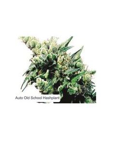 Dispensario Seeds – Auto Hashplant XXL Marijuana Seeds