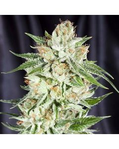Element Seeds - 5th Element Marijuana Seeds