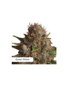 Dispensario Seeds – Therapy Queen Marijuana Seeds