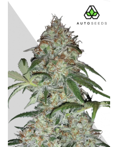 Auto Seeds – Sucker Punch Cannabis Seeds