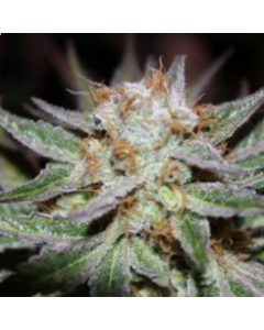 Loud Seeds – 8 Mile Cannabis Seeds