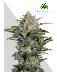 Auto Seeds – Gorilla Glue Auto Cannabis Seeds