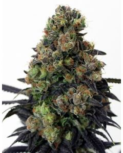 Ripper Seeds – Acid Dough Marijuana Seeds
