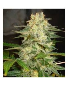 World of Seeds - Afghan Kush Ryder Cannabis Seeds