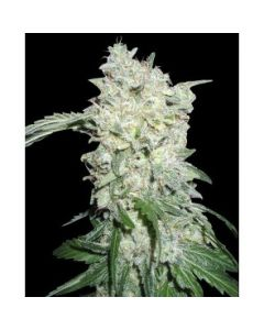 World of Seeds - Afghan Kush Special Cannabis Seeds