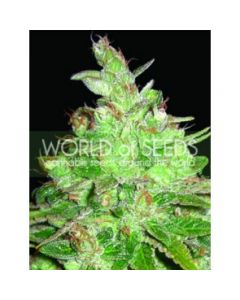World of Seeds - Afghan Kush x Black Domina Cannabis Seeds