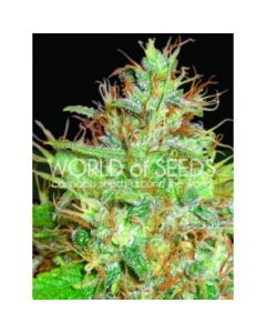 World of Seeds - Afghan Kush x Skunk Cannabis Seeds