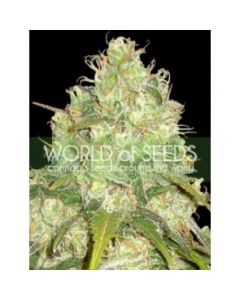 World of Seeds - Afghan Kush x Yumbolt Cannabis Seeds