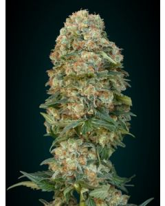 Advanced Seeds - Afghan Skunk Cannabis Seeds