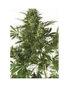 High Quality Seeds - Afghani Hindu Kush