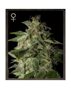 Strain Hunters Seeds – Afgooey Marijuana Seeds