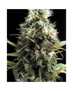 Seedsman Seeds – African Buzz Marijuana Seeds