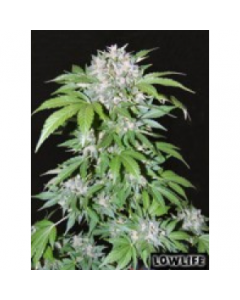 Low Life - AK 47 Automatic Marijuana Seed