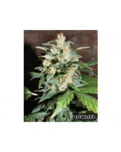 Low Life - AK 47 x Blueberry Auto Automatic Marijuana Seed
