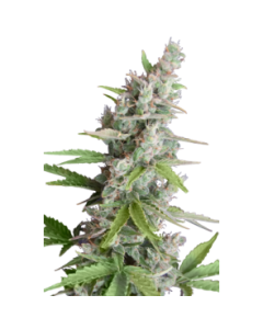 Seedmakers Seeds – AK Auto Marijuana Seeds