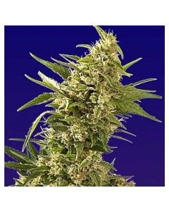 Spliff Seeds – AK Automatic Marijuana Seeds