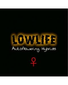 Low Life – Insurrection Marijuana Seed
