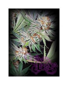 La Plata Labs – Alien Bubba Bx3 Cannabis Seeds
