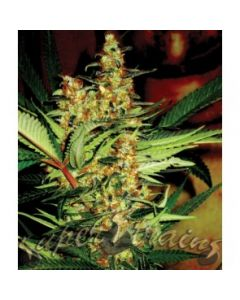Super Strains Seeds – Amajikoym Marijuana Seeds