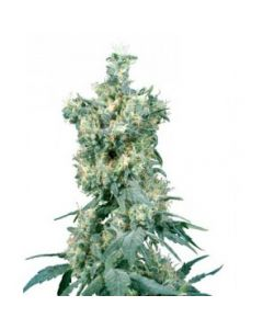 Sensi Seeds – American Dream Cannabis Seeds