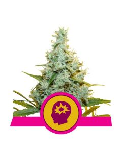 Royal Queen Seeds – AMG Cannabis Seeds