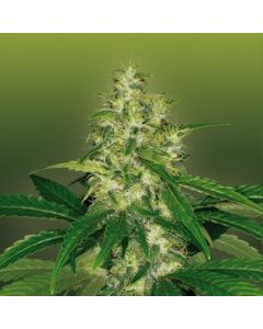 Royal Dutch Genetics Seeds – Amnesia Cannabis Seeds