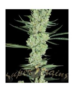 Super Strains Seeds – Amnesia Marijuana Seeds