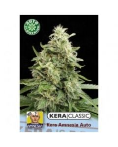 Kera Seeds – Amnesia Auto Cannabis Seeds
