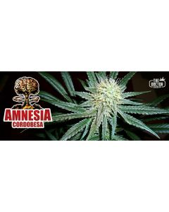The Doctor – Amnesia Cordobesa Cannabis Seeds