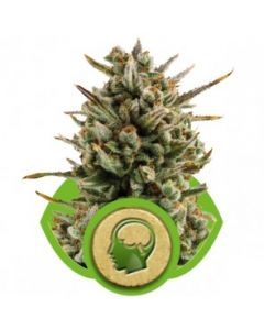 Royal Queen Seeds – Amnesia Haze Automatic Cannabis Seeds