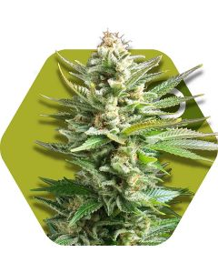 Zambeza – Amnesia Haze XL Cannabis Seeds