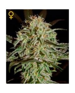Green House Seeds - A.M.S