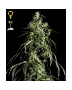 Green House Seeds - Arjan's Haze #1
