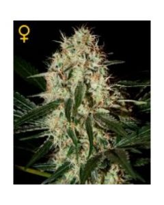 Green House Seeds - Arjan's Haze #3