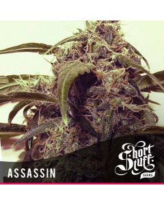 Short Stuff Seeds – Assassin Marijuana Seeds