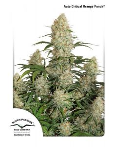 Dutch Passion – Auto Critical Orange Punch Cannabis Seeds