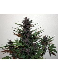 Midweek Song – Auto Purple Kush Song Cannabis Seeds