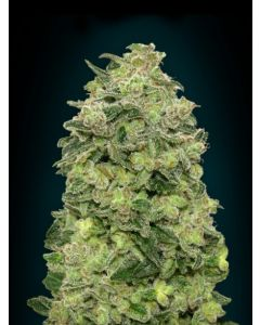 Advanced Seeds – Auto Afghan Skunk Marijuana Seeds