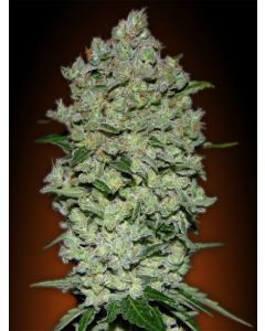 Advanced Seeds - Auto Biodiesel Mass Cannabis Seeds