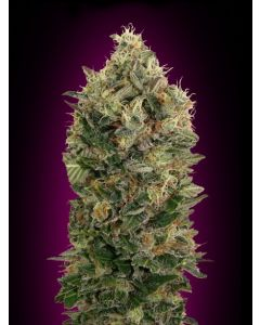 Advanced Seeds – Auto Black Diesel Marijuana Seeds