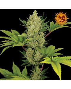 Barney's Farm – Auto Blue Cheese Marijuana Seeds
