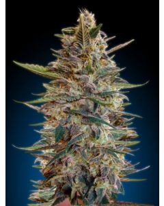 Advanced Seeds - Auto Blue Diesel Cannabis Seeds